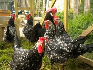 - Poultry - Back Yard Farmer 019