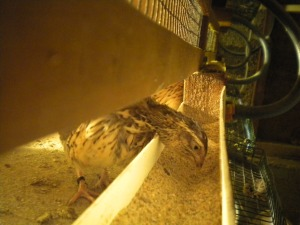 2013-10-09 - Mature Hen eating from Trough