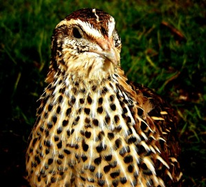 2014-04-04 - Coturnix Pharoah Female 1