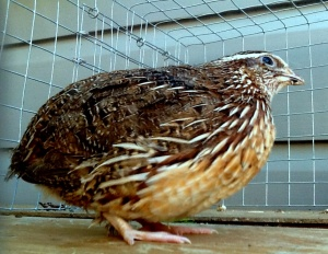 2014-04-04 - Coturnix Pharoah Male 1