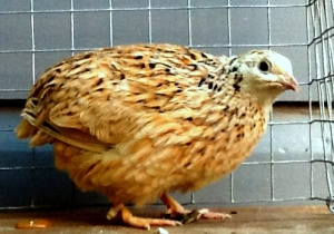 2013-10-24 - Italian Coturnix Female No 3
