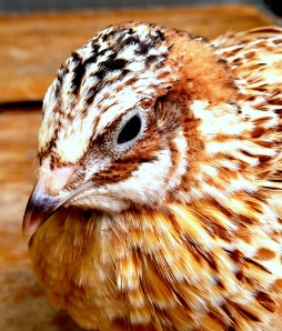 2013-10-24 - Italian Coturnix Male No 1