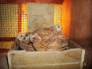 2014-01-21 - Inside Quails