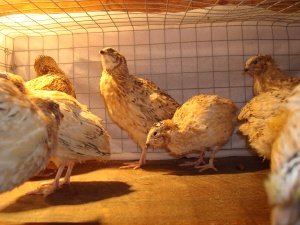 2014-02-24 - Italian Coturnix Group of young Males