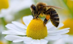 2014-04-06 - Honey Bee