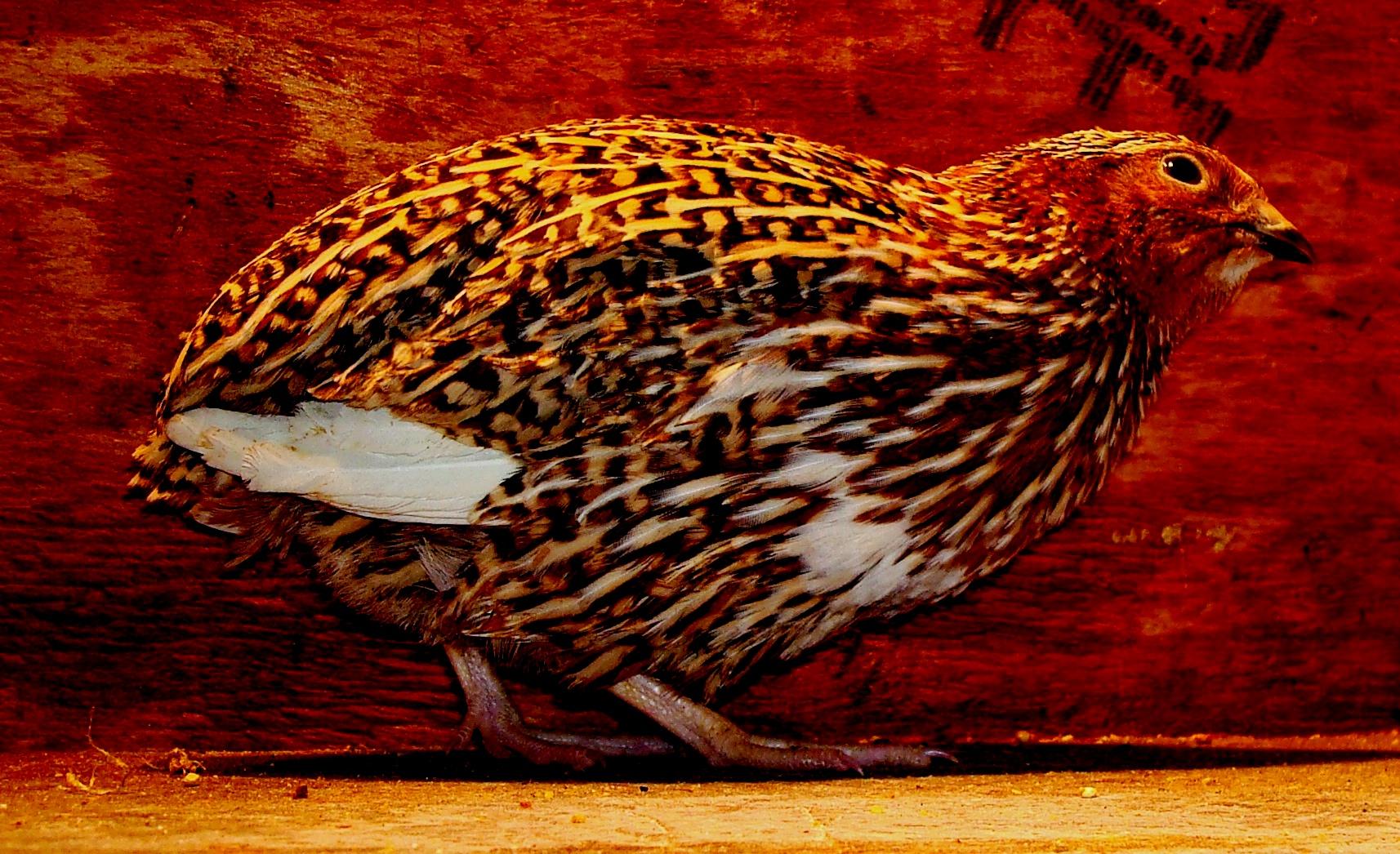 quail u2013 breeding back yard farmer page 2