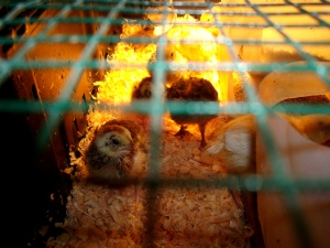 2014-05-05 - Brooding Quails 14