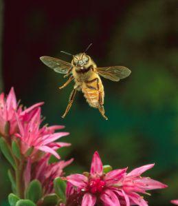 2014-05-25 - Bee pollinators