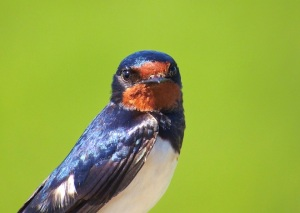 2014-07-10 - Barn Swallow