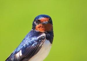2014-07-10 - Barn Swallow