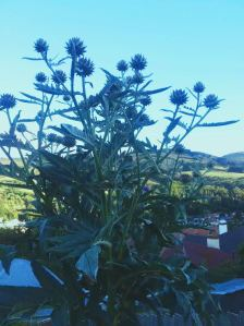 2015-01-23 - Cardoon Flowers 2