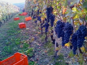 2015-05-03 - Italian Wine Grapes