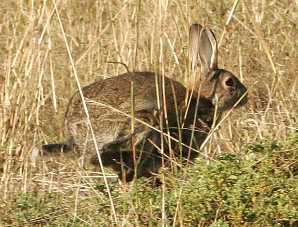 2017-10-03 - Wild Rabbit